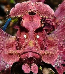 Poisson-scorpion d'Eschmeyer