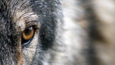 Photo of «Une Histoire des Loups» d'Emily Fridlund : dérangeant, addictif et inclassable