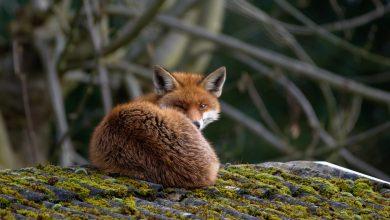 Photo de Sur les traces de «Sullivan», un renard voyageur au grand coeur… par Clément Roussier