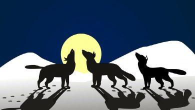 Photo of «Le Loup pas malin du tout»: stratégie de prédation